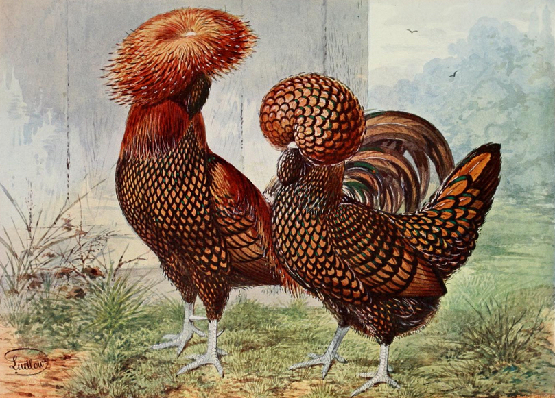 Polish chickens, which are not from Poland, were bred for their elaborate plumes and crests. This pair of Gold Spangled Polish chickens was illustrated in The Illustrated Book of Poultry by Lewis Wright, 1872.