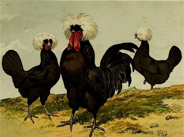 By studying chicken skeletons, Darwin noticed that by breeding Polish chickens like these Black Polands for elaborate crests, breeders had unwittingly compromised the structure of their skulls.