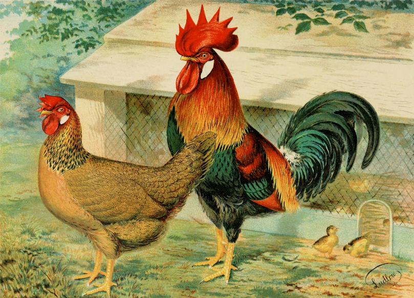 In the 19th century, breeders produced countless chickens of uncommon beauty, as seen in this 1870s illustration of a pair of Brown Leghorns.