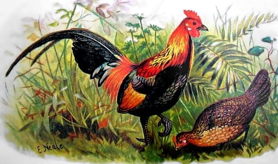 One of the many specimens Belcher acquired for the British Museum during his travels was a Red Jungle Fowl, a wild Southeast Asian bird thought to be the evolutionary forebear of all domesticated chickens.