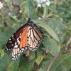 ButterflyChrysalis